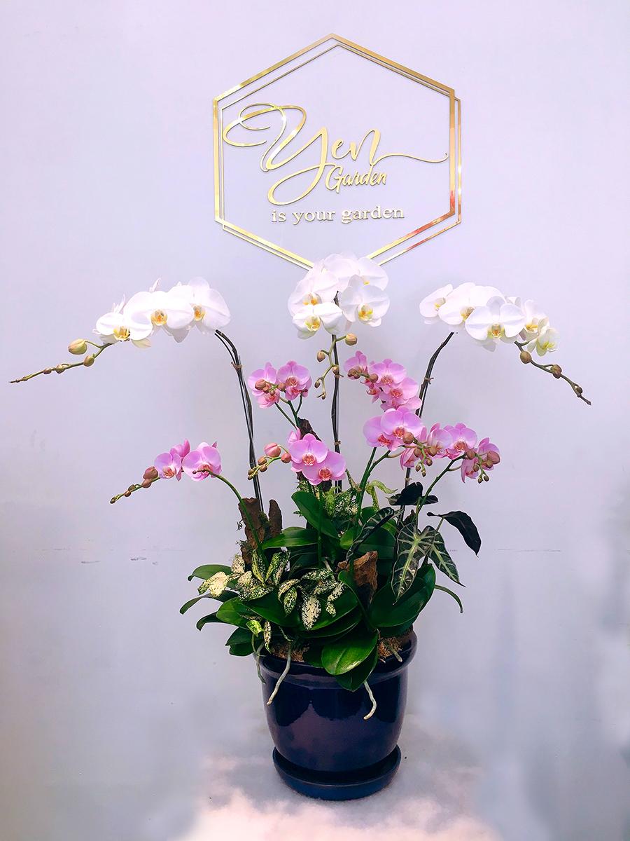 orchird-hoa-lan-ho-diep-orchids-yen-garden-hoa-nha-trang-binh-duong-pottery-0982299988